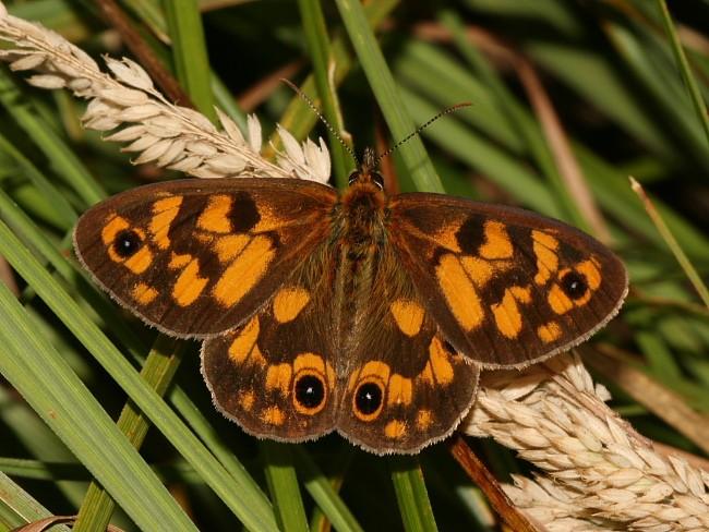 Heteronympha cordace Bright-eyed Brown