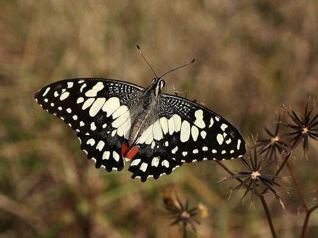 Papilio demoleus Chequered Swallowtail