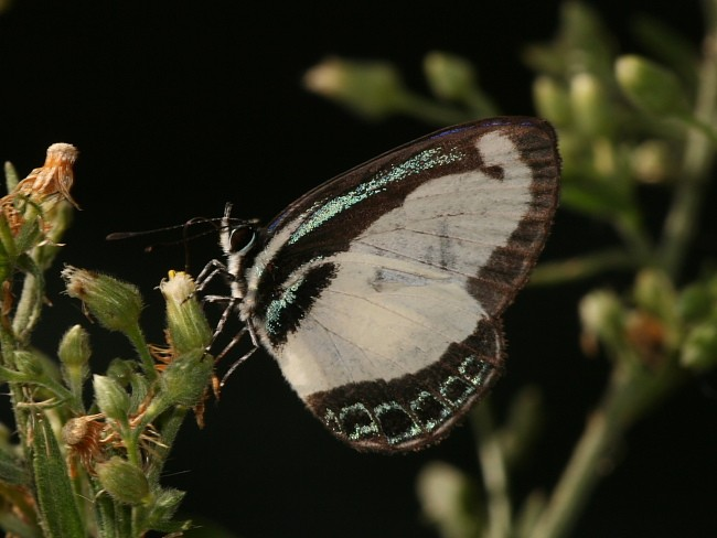Small Green-Banded Blue (Psychonotis caelius) at Brooklyn