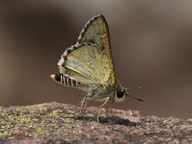 Neohesperilla xanthomera Yellow Grass skipper