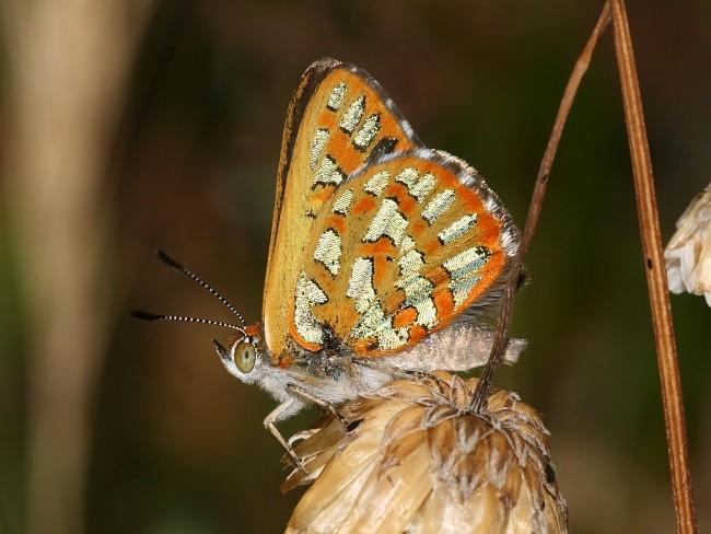Hypochrysops halyaetus Western Jewel