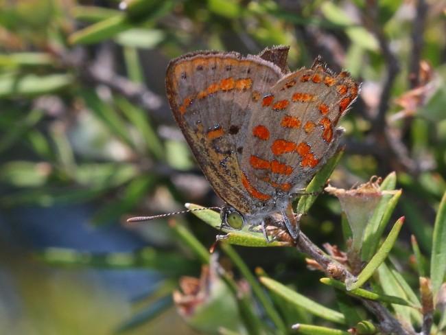 Hypochrysops ignitus Fiery Jewel