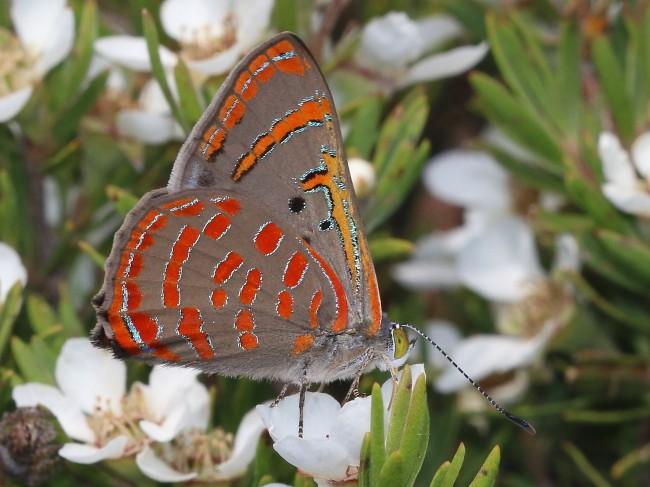 Hypochrysops delicia Moonlight Jewel