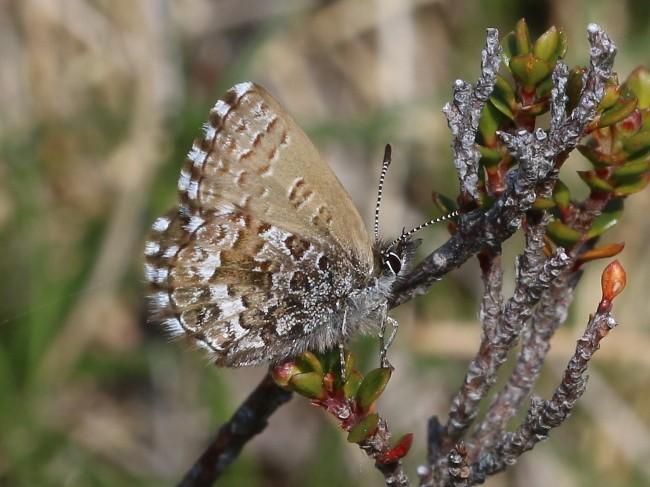 Neolucia hobartensis Montane Heath blue