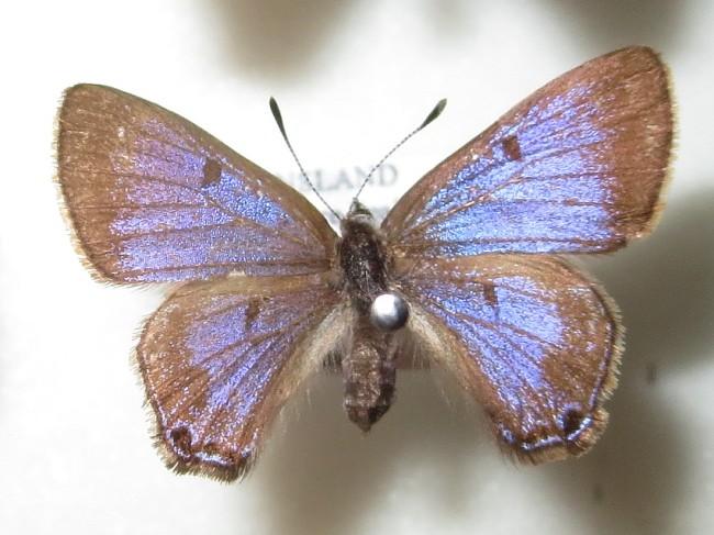 Acrodipsas violacea Ant Blue