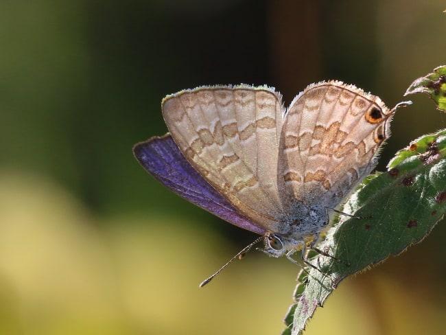 Catopyrops florinda Speckled Line-blue (male)
