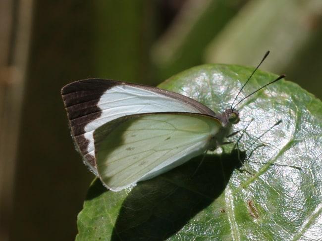 Elodina angulipennis (Southern Pearl-white) adult