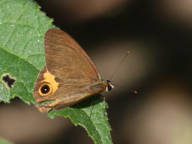 Brown Ringlet Hypocysta metirius