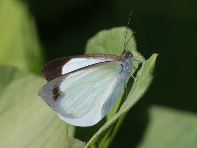 Elodina angulipennis (Southern Pearl-white)