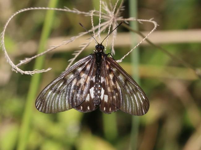 Glasswing Acraea andromacha