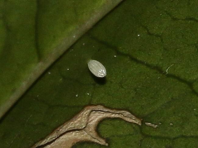 Elodina angulipennis ovum (Southern Pearl-white)