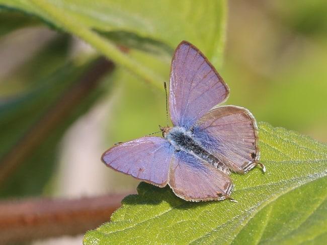 Speckled Line-blue Catopyrops florinda