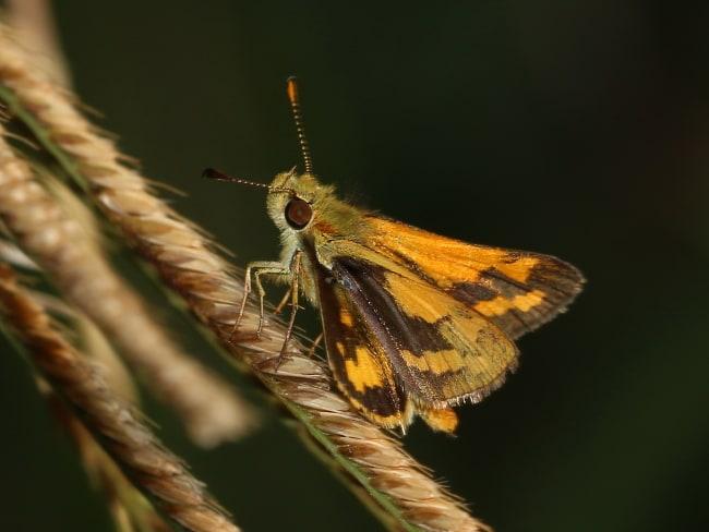 Green Grass-dart Ocybadistes walkeri