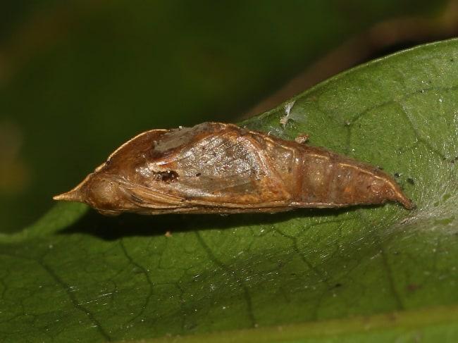 Elodina angulipennis pupa (Southern Pearl-white)