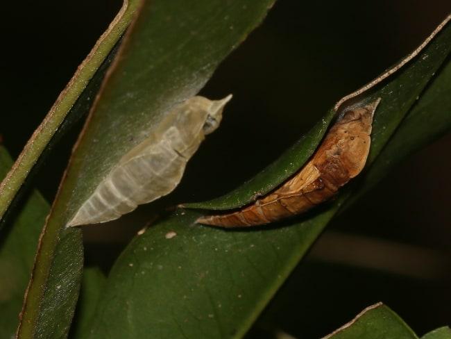 Elodina angulipennis pupae (Southern Pearl-white)
