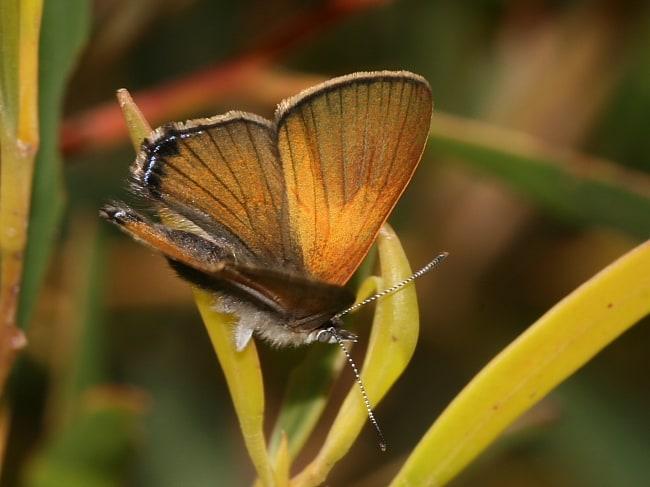 Acrodipsas aurata Golden Ant-blue