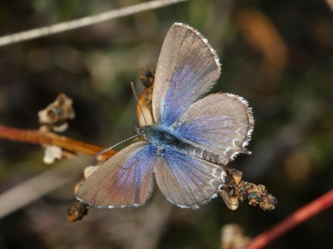 Theclinesthes serpentatus (Saltbush Blue)