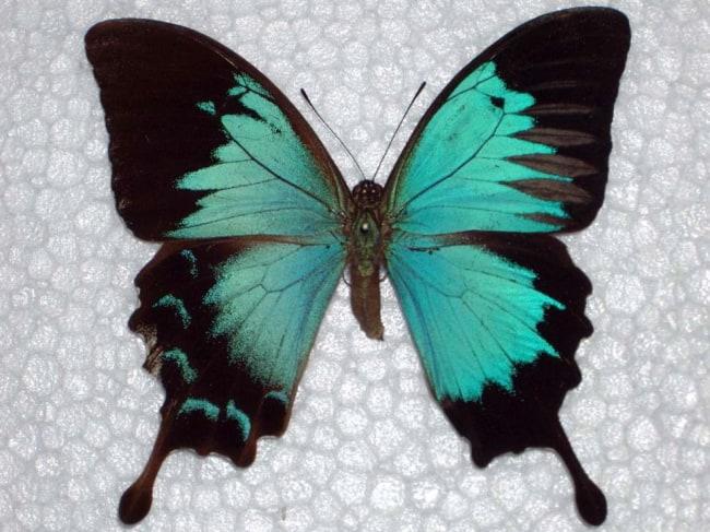 Papilio ulysses bilateral gynandromorph