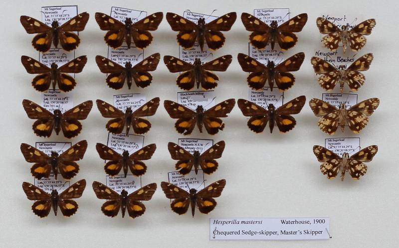 Hesperilla mastersi specimens from Al's collection