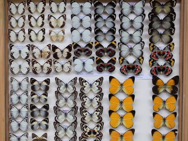 Australian Pierid butterflies from the collection of Al Hopkinson