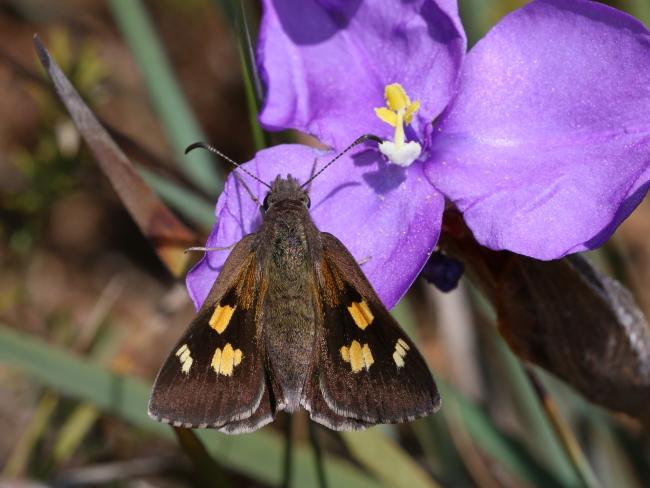 Montane Iris-skipper (Mesodina aeluropis)