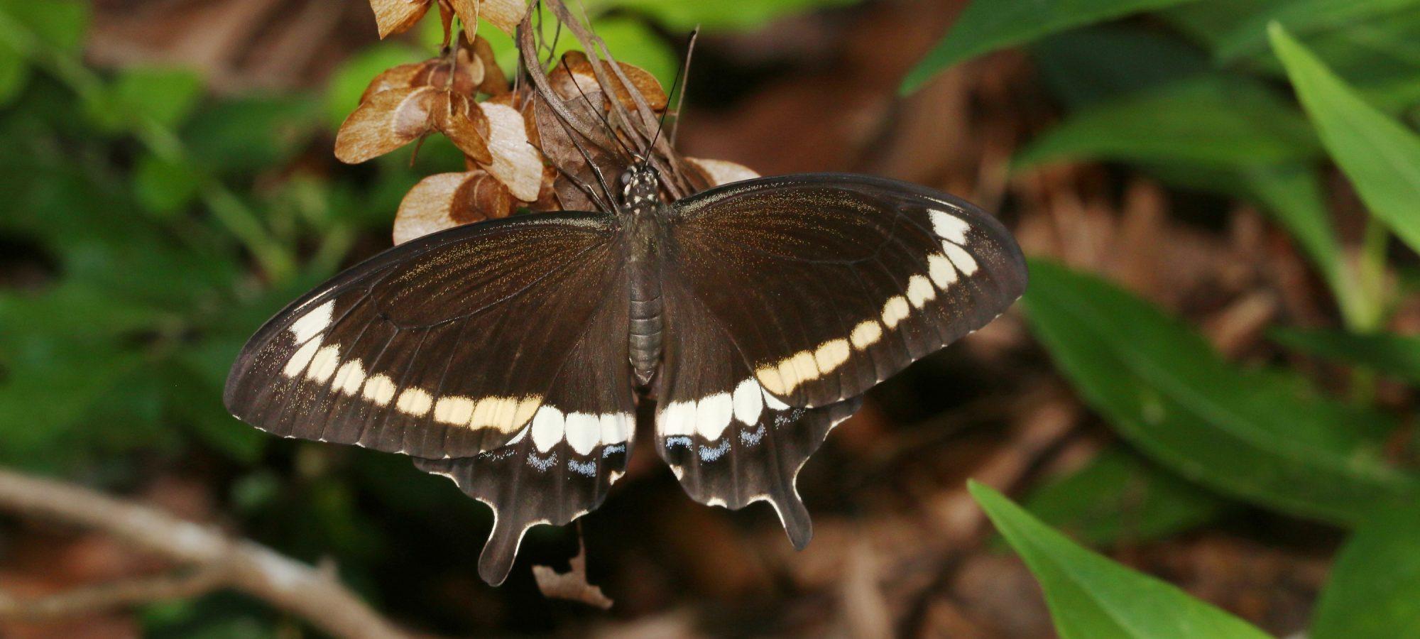 Banner-Papilionidae3