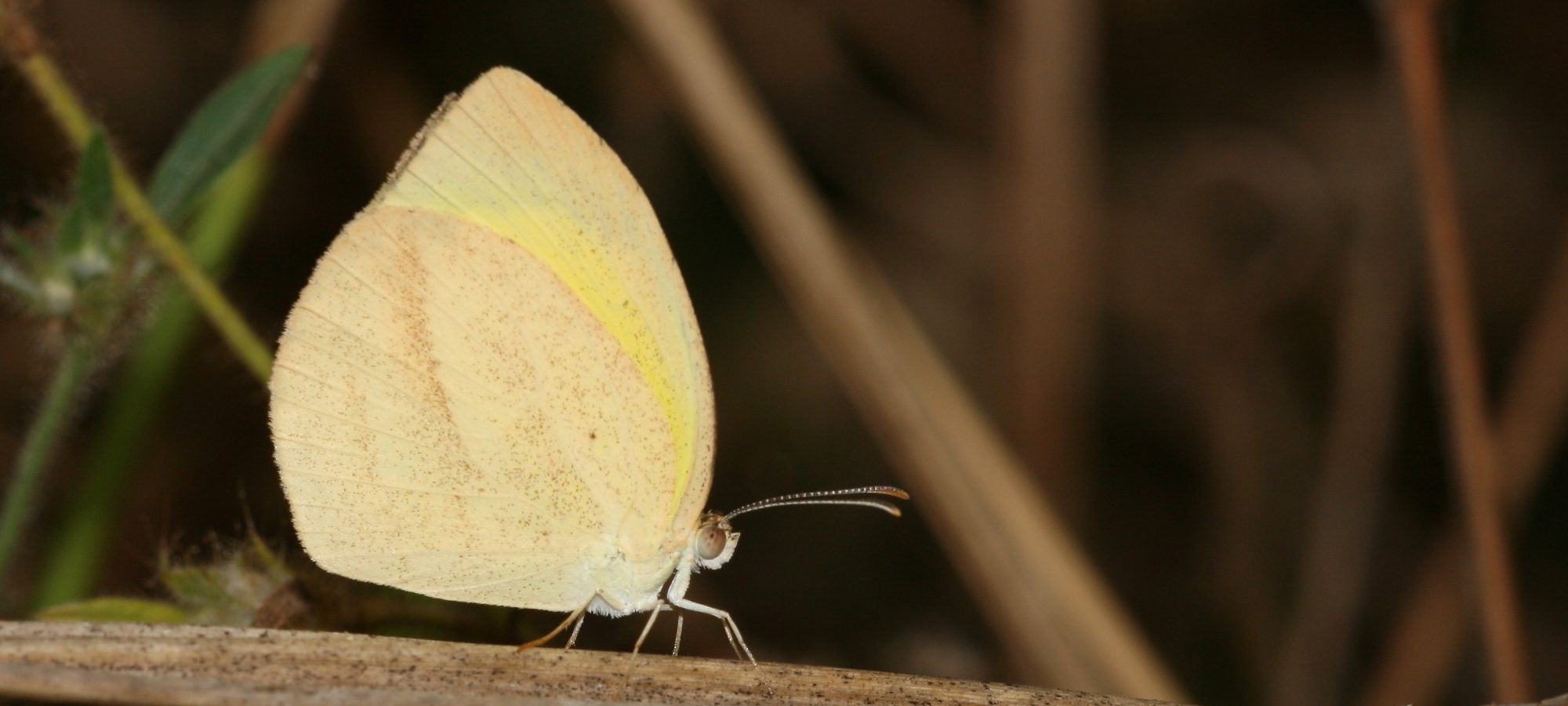 Eurema laeta Striated Grass Yellow