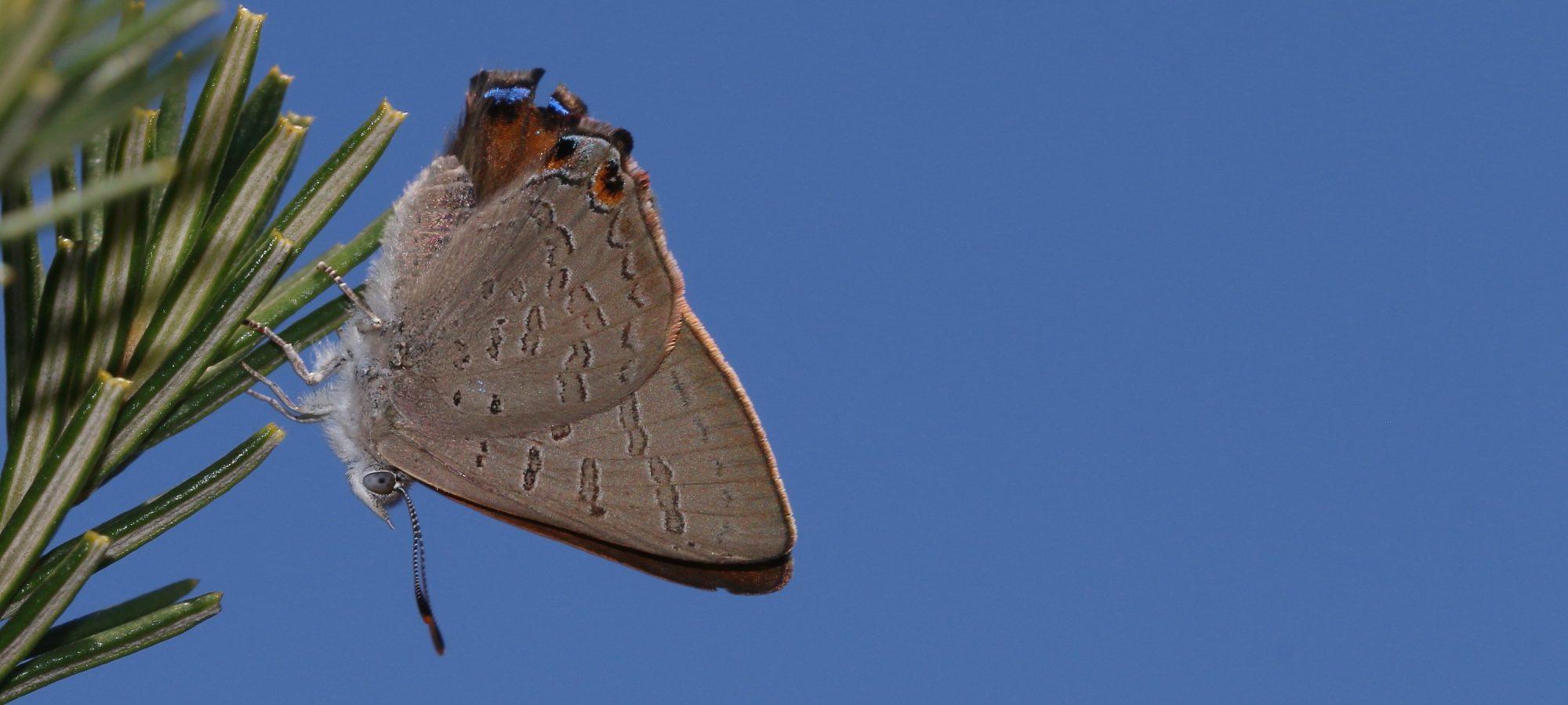 Acrodipsas brisbanensis Bronze Ant Blue