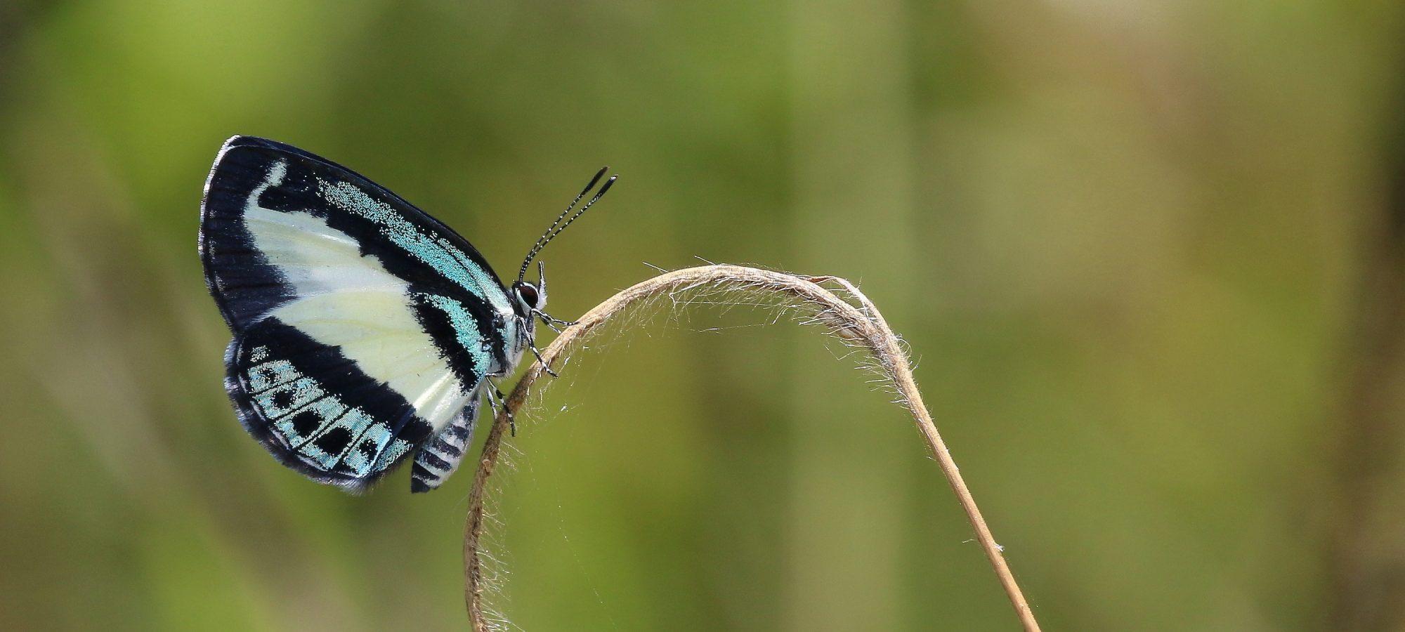 Australian butterflies www.purvision.com